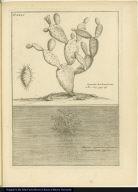 [top] Opuntia herbariorum [bottom] Muscus Squamosus aquaticus elegantissimus.