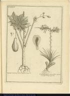 [left] Papaya ramosa, fructu Pyriformi. [right] Renalmia ramosa lutea, foliis spinosis, vulgò Poya.