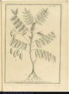 Pseudo-Acacia, foliis Mucronatis, flore luteo, vulgó Maju