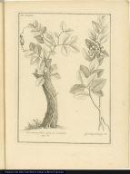 [left] Urceolaria foliis carnosis scandens [right] Qued qued