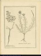 [left] Soldanella facie, flore infundibuli forma. [right] Quinchamali, Lini folio.