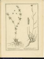 [left] Rubiastrum Cruciatae folio, et facie, vulgo Relbun. [right] Santolinoydes Linariae folio, flore aureo, vulgo Poquill.