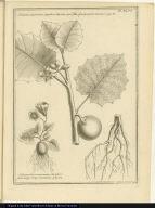 [top] Solanum amplissimo, anguloso, hirsuto que folio, fructu aureo maximo. [bottom] Solanum tuberosum minus, atriplicis folio vulgo Papa montana.