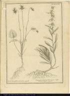 [left] Viola lutea foliis non auritis. [right] Virga aurea Lucoii folio incano vulgo Diuca-Lagen.