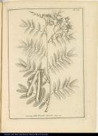 Cassia foliis Pseudo-Acaciae.