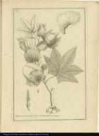 Xylon arboreum flore flavo