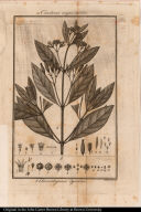a. Cinchona angustifolia. b. Gonzalagunia dependens.