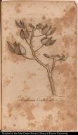 Erythrina Corallodendron.
