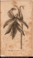 Amaryllis formosissima.