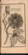 Granadilla Fleur de la Passion
