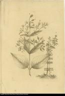 [Chinchona plant]