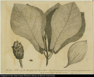 To Thomas Walter Esqr. this Plate of the New Auriculated Magnolia (p. 159) is presented as a testimony of gratitude & esteem, by his much obliged humble servant, John Fraser