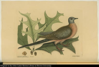 Red Oak; The Pigeon of Passage.