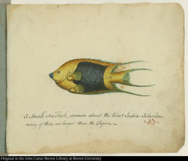 A small sea Fish, common about the West India Islands--many of them no larger than the Figure