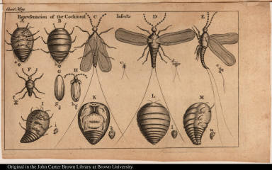 Representation of the Cochineal Insects