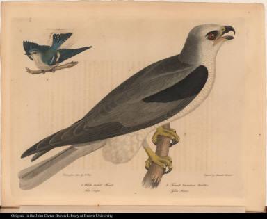 1. White tailed Hawk. Falco Dispar. 2. Female Caerulean Warbler. Sylvia Azurea.