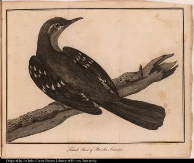 Black Bird of Port des Français.