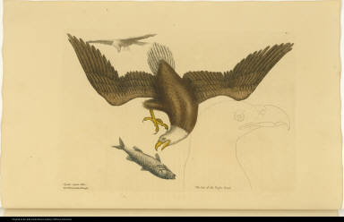 [The Bald Eagle.] Aquila capite Albo. The White headed Eagle.