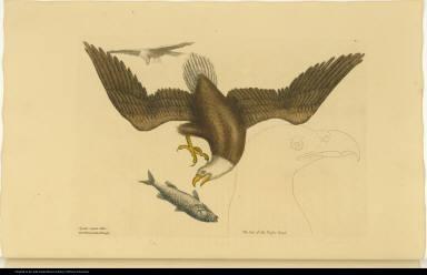 [The Bald Eagle.] Aquila capite Albo. The White headed Eagle.