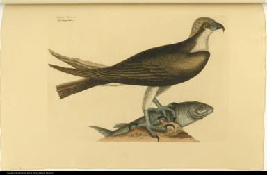 Accipiter Piscatorius. The fishing Hawk.
