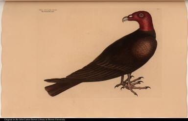 Butes Specie gallo pavonis. The Turkey Buzzard.