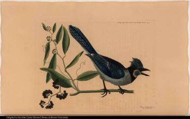 Smilax lavis Lauri folio non Serrato, baccis nigris. Pica cristata coerulea. The crested Jay.