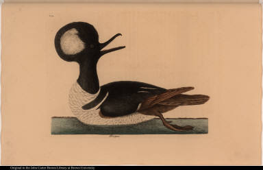 [The round-crested Duck.] Mergus.