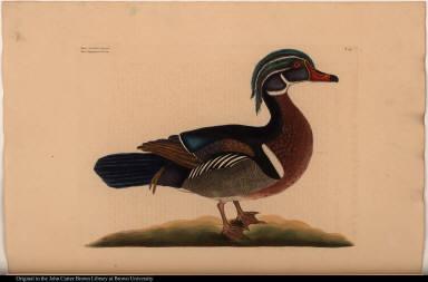 Anas cristata elegans. The Summer Duck.