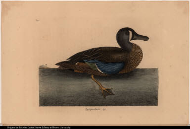 [The White-Face Teal.] Querquedula &c.