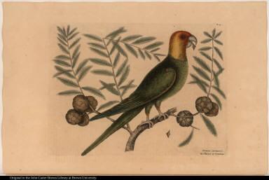 Psitticus Caroliniensis. The Parrot of Carolina.