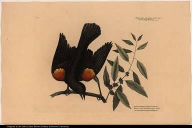 Sturnus niger alis supernis rubo colore. The red-Wing'd Starling. Myrtus Brabanticae Similis Caroliniensis humilior ... The broad leaved candle-berry Myrtle.