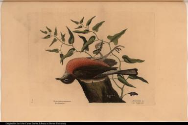 Turdus pilaris, migratorius. The Fieldfare. Aristolochia &c. The Snake-root.