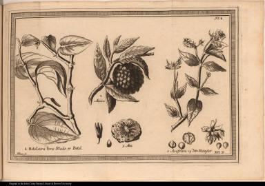 1 Asafreira og dets Blomster.; 2 Ateira; 3 Ata; 4 Beteleira huis Blade er Betel.