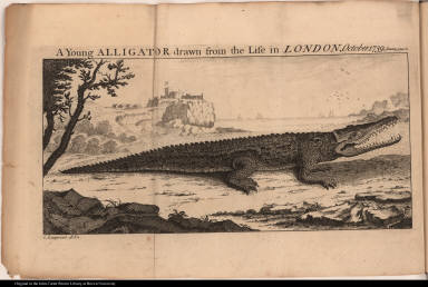 A Young Alligator drawn from the Life in London, October. 1739.