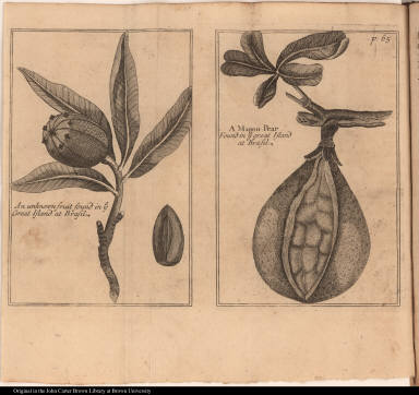 [left] An unknown fruit found in ye Great Island at Brasil. [right] A Mapou Pear Found in ye great Island at Brasil.