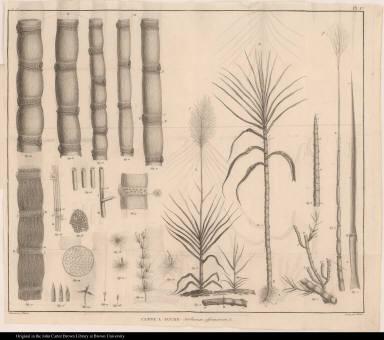 Canne a sucre Saccharum officinarum, L.