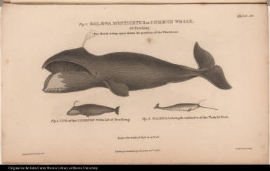 Fig. 1. Balaena Mysticetus, or Common Whale. 58 Feet long. Fig. 2. Cub of the Common Whale 17 Feet long. Fig. 3. Narwal, Length exclusive of the Tusk 14 Feet.