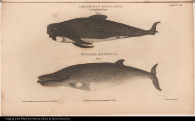 Delphinus Deductor. Length 20 Feet. Fig. 1. Balaena Rostrata. Fig. 2.