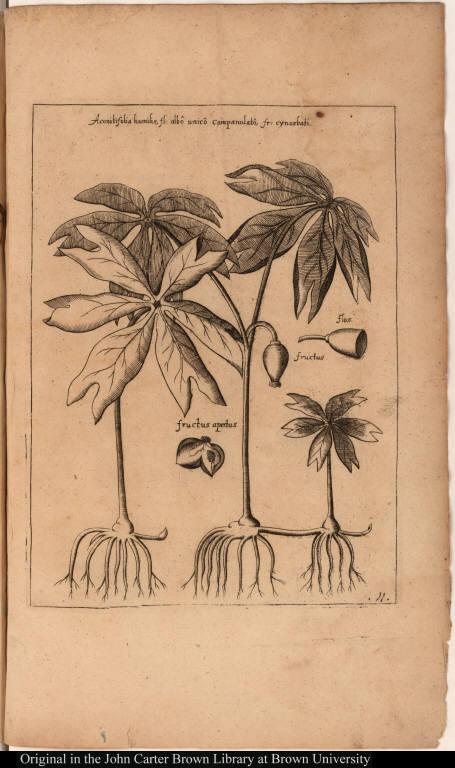 Aconitifolia humilis, fl: albô campanulatô, fr: cynosbati.