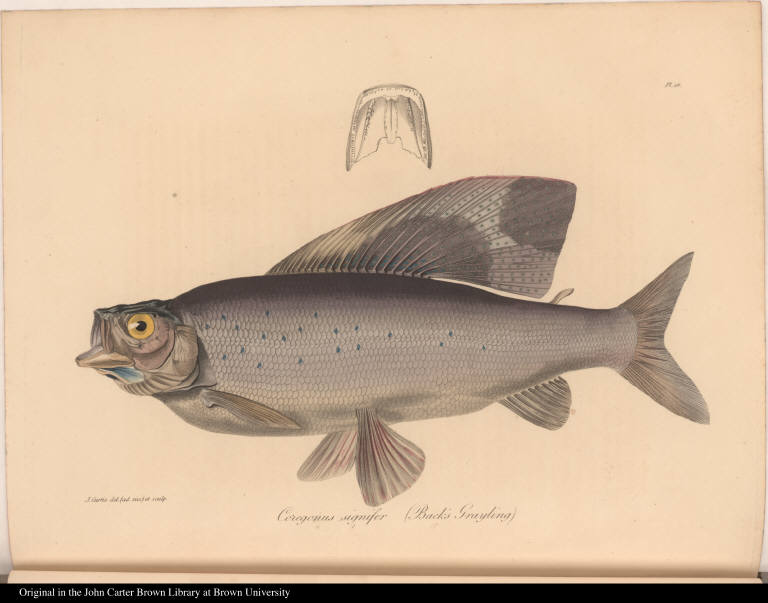 Coregonus signifer (Back's Grayling)
