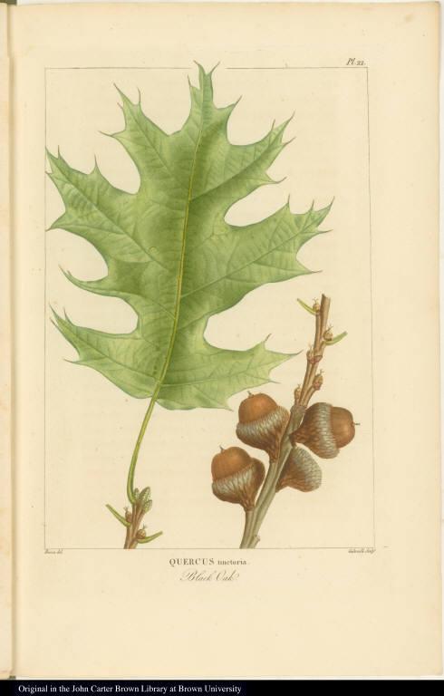 Quercus tinctoria. Black Oak.