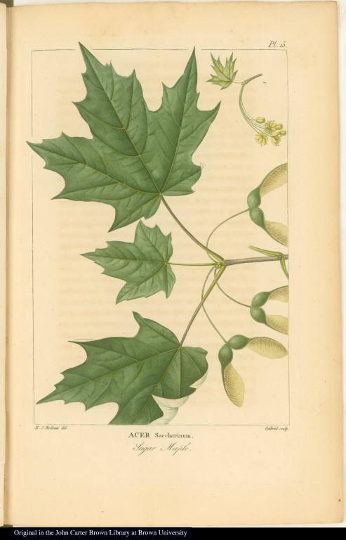 Acer Saccharinum. Sugar Maple.