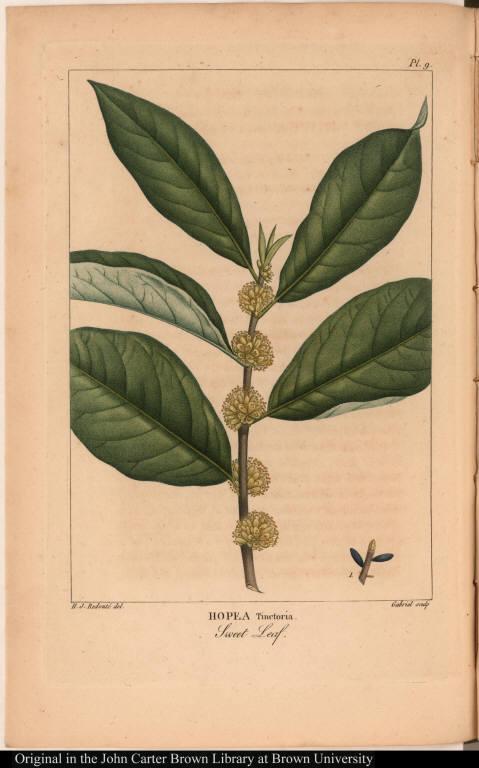 Hopea Tinctoria. Sweet Leaf.