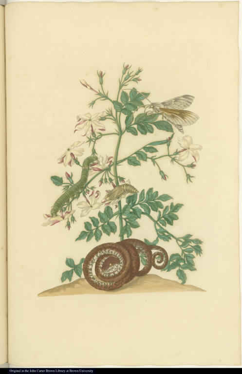 [Jasmine plant or vine with snake and insects]