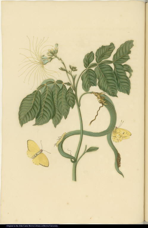 [Vanilla orchid and insects]