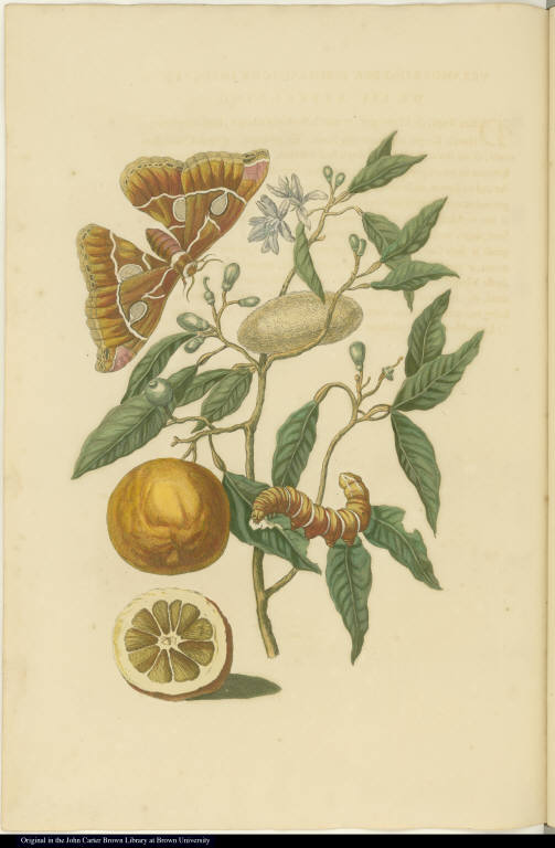 [Orange tree and insects]