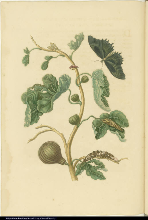[Fig tree and insects]