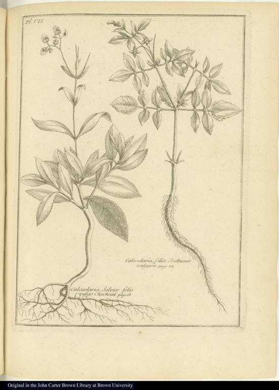 [left] Calceolaria Salviae folio vulgo Chachaul [right] Calceolaria, foliis Scabiosae vulgaris.