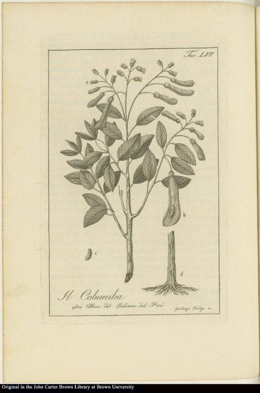 Il Cobureiba ossia Albero del Balsamo del Perù