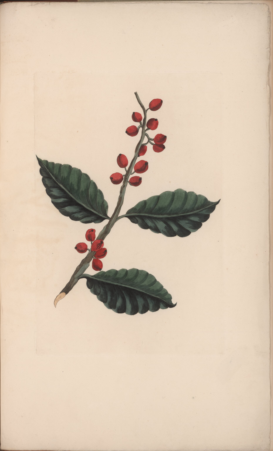 No. XII. Coffea occidentalis, or, Coffee tree. This useful Tree bears delicate White Flowers particularly redolent.